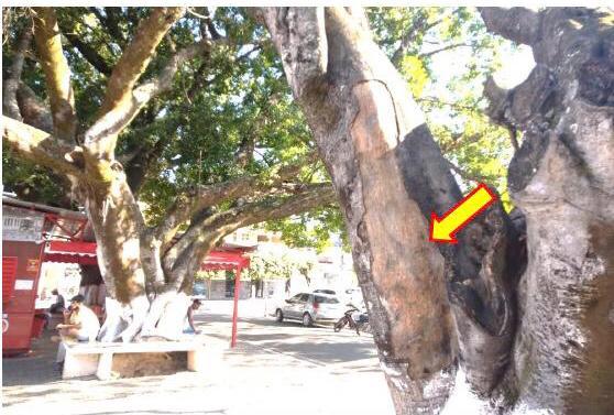 laudo técnico que sugere à supressão total de árvore que compõe o conjunto paisagístico da Praça Guarurama