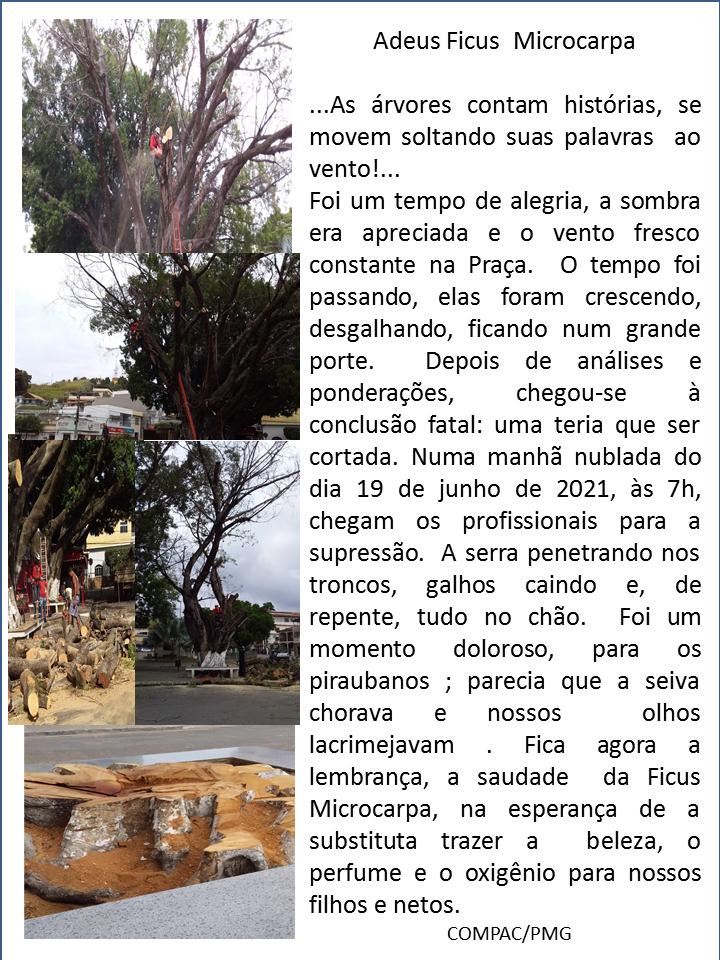 Adeus a Ficus Microcarpa